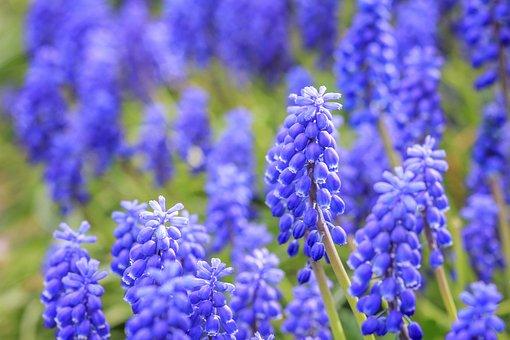 Muscari, Spring, Summer, Bloom, Hyacinth, Garden, Blue