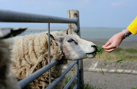 Sheep, Texel, Holland, Texelschaf, Animal, Pasture