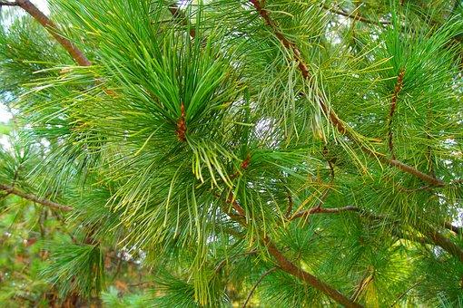 Abies, Needles, Macro, Tree, Conifer