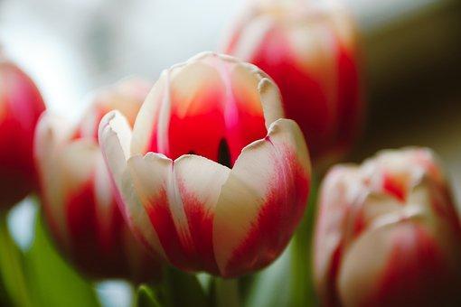 Tulip Flower, Tulips, Half Closed, Bloom, Blossom, Open