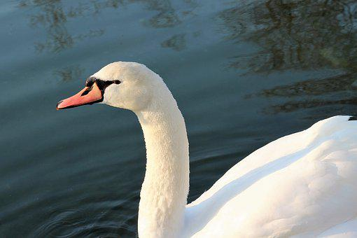 White Swan, Bird, Elegant, Lake, Water
