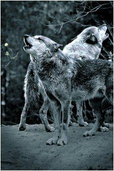 Wolf, Howl, Forest, Night, Wolves, Moonlight