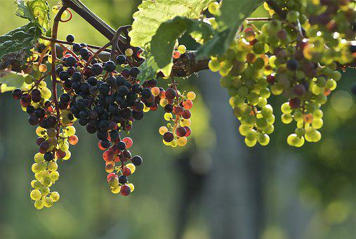Grapes, Young, Wine, Winegrowing, Vines