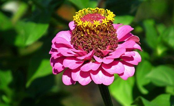 Zinnia, Flower, Garden, Summer, Nature