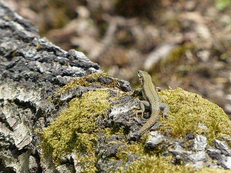 Lizard, Amphibian, Forest, Bark, Moss, Nature, Animal