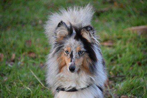 Dog, Bitch, Shetland Sheepdog Female, Bitch Nobility