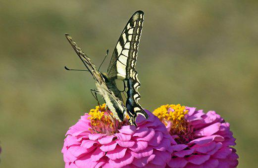 Butterfly, Insect, Tin, Flowers, Pink