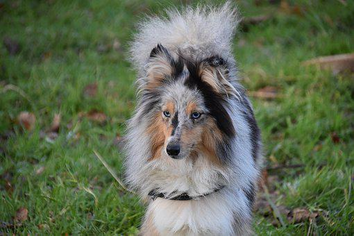 Dog, Bitch, Puppy Shetland Sheepdog, Color Blue Merle