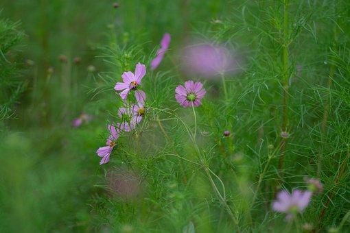 Cosmos, Cosmos Field, Flower