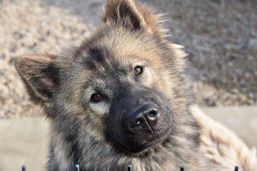 Dog, Pup, Dog Eurasier, Bitch Plinn-blue, Dog Portrait
