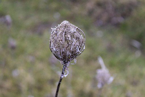 Wildflower, Dry, Cold, Frost, Close