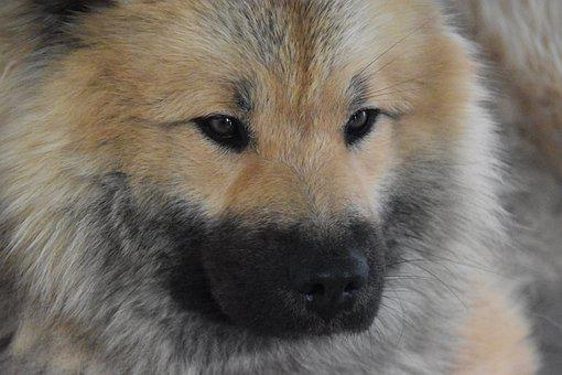 Dog, Next Dog, Eurasier, Dog Portrait