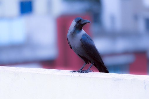 Crow, Raven, Animal, Bird, Black, Nature, Feather