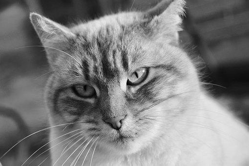 Cat, Pussy, Feline, Black And White Photo