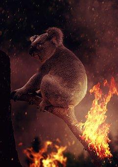 Koala, Fire, Australia, Devastation, Flame, Horror