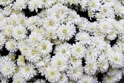 White, Flowers, Many, White Flowers, Daisies, Flora