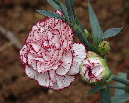 Carnation, Flower, Red, White, Nature, Plant, Floral
