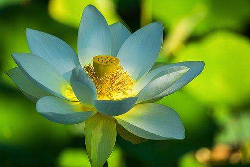 Lotus Flower, White, Flower, Plant
