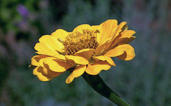 Zinnia, Flower, Yellow, Garden, Nature