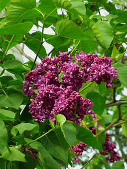 Lilac, Bloom, Flowers, Purple, Spring