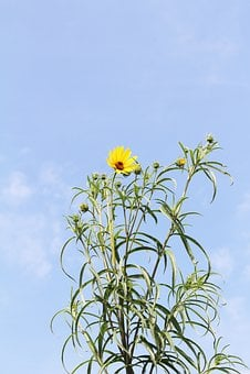 Yellow, Garden, Sunflower, Flowers
