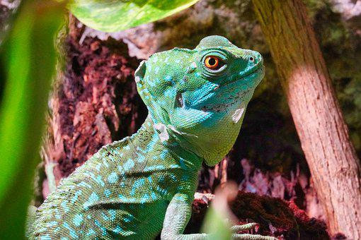 Frontal Lobe Basilisk, Reptile, Lizard