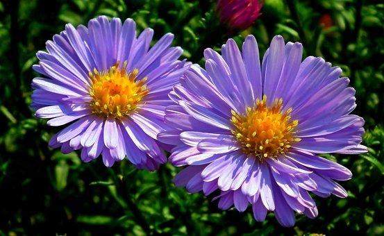 Astra, Flowers, Blue, Garden