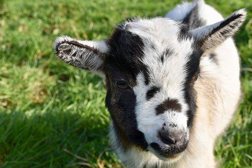 Goat, Goat Baby Goat, Kid, Ibex, Horn, Herbivore