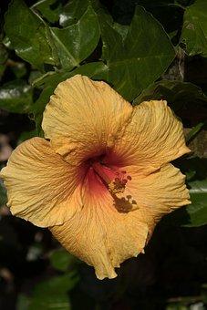 Hibiscus, Flower, Orange, Gold