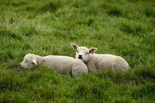 Sheep, Lambs, Grass, Meadow, Pasture