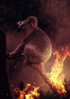 Koala, Fire, Australia, Devastation, Flame, Horror