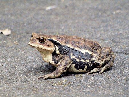 Creatures, Frog, It, Sumo Wrestling, How To, Big Frog