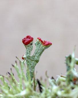 Lichen, Devils Matches, Red, Green