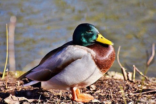 Mallard, Duck, Water Bird, Duck Bird, Poultry, Drake