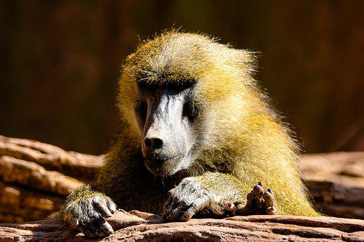 Animal World, Monkey, Baboon, Sphinx-baboon, Mammal