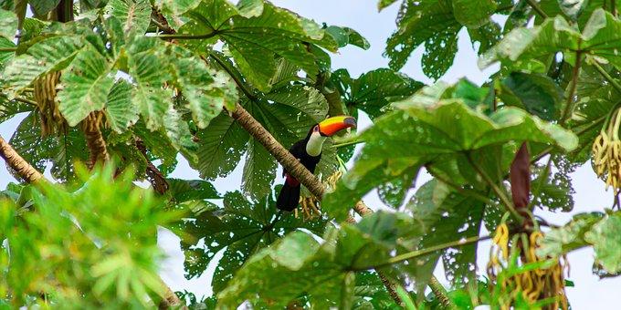 Tucano-toco, Tucano, Exotic, Colorful, Tropical, Nature
