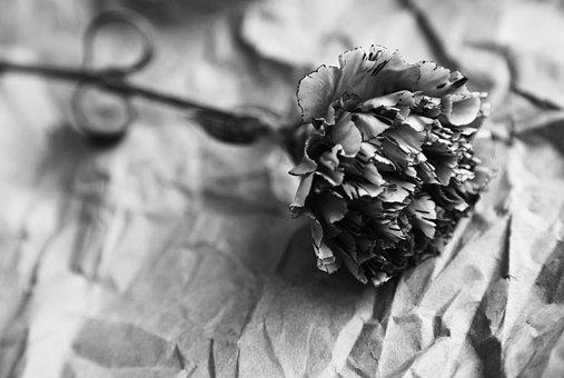 Black And White, Carnation, On, Old, Crinkled, Paper
