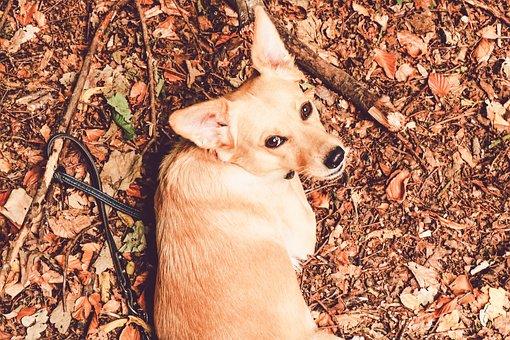 Dog, Bitch, Pet, Labrador, Podenco, Hybrid, Dog Mix