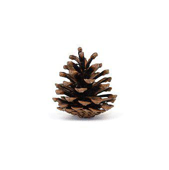 Pinecone, Background, Pinecones, White Background, Tree
