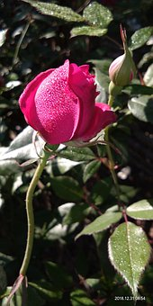 Morning Time Pic, Pink, Rose, With Water Drops