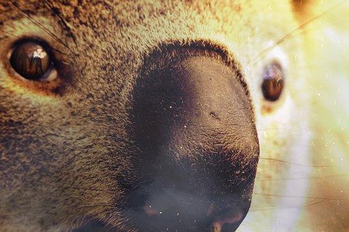 Fire, Australia, Koala, Smoke, Devastation