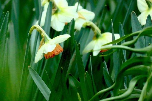 Snowflake, Flower, Blossom, Bloom, Spring, White