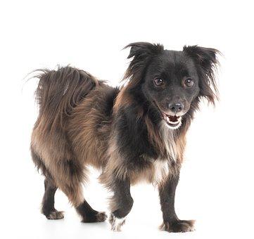 Dog, Studio, Smiling, Animal, Pet, Happy, Small, Fur