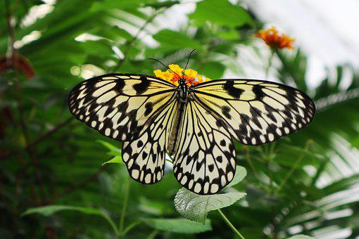 Butterfly, Tropical Butterfly, Close Up