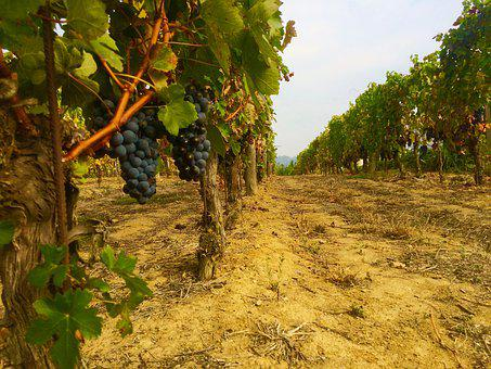 Vineyard, Nature, Grapes, Viticulture, Vintage