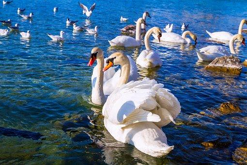 Swan, Animal, Water Bird, Bird, White, Animal World