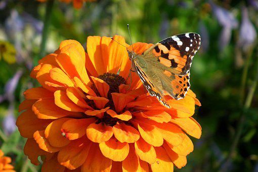 Butterfly, Insect, Zinnia, Flower