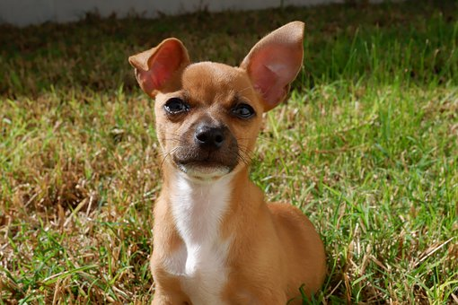 Dog, Love, Puppy, Pet, Animal, Cute, Happy, Chihuahua