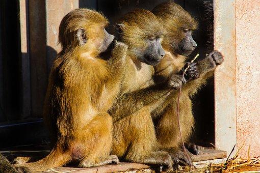Animal World, Monkey, Baboon, Sphinx-baboon, Mammal