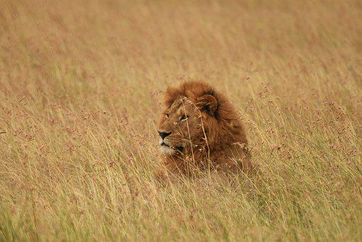 Lion, Wildlife, Art, Africa, Animal, Nature, Safari